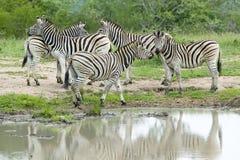 斑马牧群在Umfolozi比赛储备的,南非水池反射了,在1897年建立 免版税库存图片