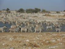 斑马牧群在waterhole的 库存照片