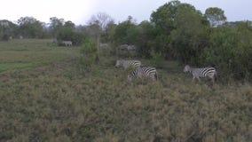 斑马牧群的运动吃草在非洲大草原的一个领域的在雨中 股票录像