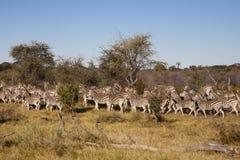 斑马牧群迁移 库存照片