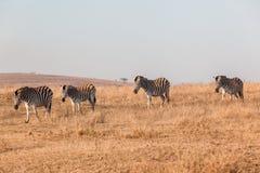 斑马牧群风景地形 免版税库存图片