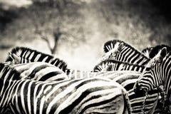 斑马牧群 库存照片