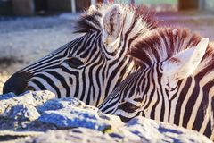 斑马特写镜头 斑马两个头在动物园里 免版税库存照片