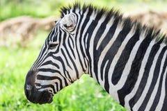 斑马特写镜头视图在纳库鲁国家公园(肯尼亚) 库存照片