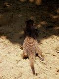 斑马猫鼬 库存照片