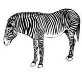 斑马的剪影 手拉的斑马例证 免版税库存图片