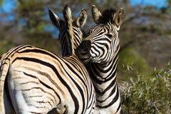 斑马的搂颈亲热喜爱动物野生生物 免版税图库摄影