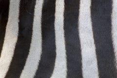 斑马的毛皮细节 库存照片