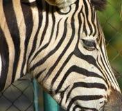 斑马的画象 免版税库存照片