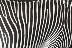 斑马的皮肤的纹理。 库存照片
