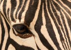 斑马的眼睛 免版税库存照片