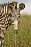 斑马的纵向 免版税图库摄影