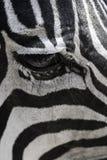 斑马的黑白的眼睛赞助人 库存图片