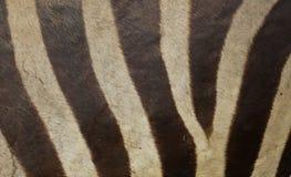 斑马皮肤纹理 免版税图库摄影