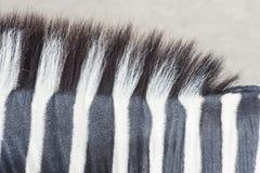 斑马皮肤纹理 库存图片