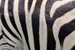 斑马皮肤 免版税库存照片