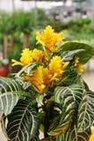 斑马植物(Aphelandra squarrosa) 库存照片