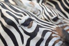 斑马眼睛 免版税库存图片