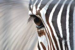 斑马眼睛 库存照片