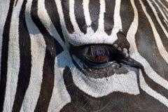 斑马眼睛 库存图片