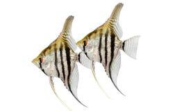 斑马神仙鱼pterophyllum scalare在白色隔绝的水族馆鱼 免版税图库摄影