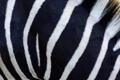 斑马羊毛黑白条纹  库存照片