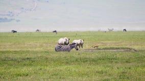 斑马羚羊和白色犀牛在非洲大草原的牧场地在一热的天 股票视频