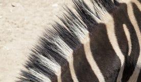 斑马脖子 库存图片