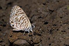 斑马蓝色蝴蝶 免版税库存照片