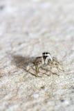 斑马蜘蛛的画象 免版税图库摄影