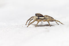 一只跳跃的蜘蛛(Salticus scenicus)的画象 库存图片