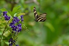 斑马蝴蝶飞行的惊人的图象 免版税图库摄影
