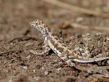 斑马被盯梢的蜥蜴在墨西哥 库存照片