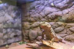 斑马被盯梢的蜥蜴(Callisaurus draconoides) 免版税库存照片