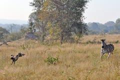 斑马被追逐的豺狗 免版税库存图片