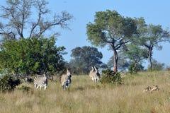 斑马被追逐的豺狗 免版税库存照片