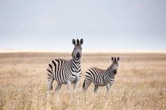 斑马迁移在Makgadikgadi批评国家公园-博茨瓦纳 库存照片