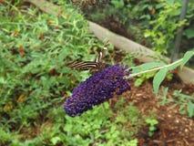 斑马长的翼蝴蝶 免版税库存图片