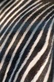 斑马隐藏 免版税库存图片