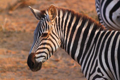 斑马面孔-徒步旅行队肯尼亚 库存图片