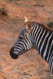 斑马面孔-徒步旅行队肯尼亚 图库摄影