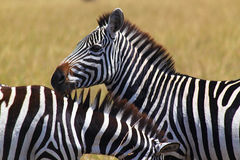 斑马面孔-徒步旅行队肯尼亚 免版税库存图片