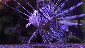 斑马飞过或者斑马鱼或者一镶边飞过的Pterois volitans是蝎子家庭的鱼 股票录像