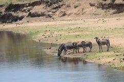 斑马饮料家庭从河的 免版税库存图片