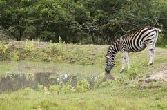 斑马饮用水在小池塘 库存照片