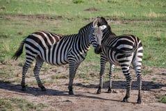 斑马马塞语玛拉肯尼亚非洲 免版税库存照片
