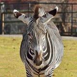 斑马马属拟斑马画象  免版税库存照片