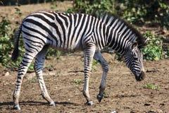 斑马驹 库存照片
