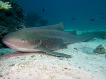 斑马鲨鱼 库存图片