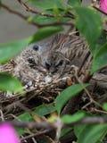 斑马鸠和两只婴孩小鸡 免版税库存照片